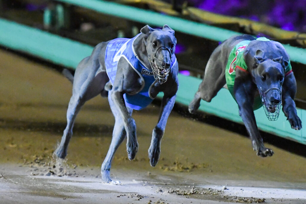 Tommy Shelby Crowned WA Greyhound of the Year for 2020 thumbnail