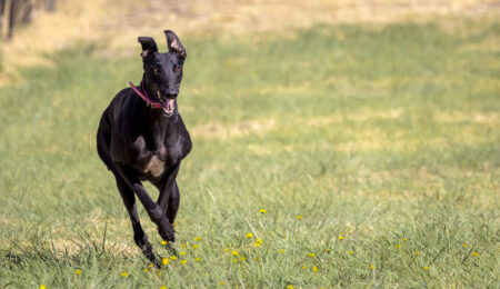 Animal welfare central to review of State's greyhound racetracks thumbnail